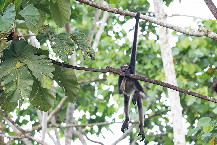 Spider-Monkey_llarge-009893